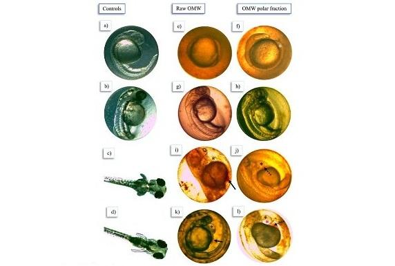 MDU-nin alimləri zeytun yağının  istehsalı zamanı əmələ gələn tullantıların nə qədər zəhərli olduğunu araşdırdılar